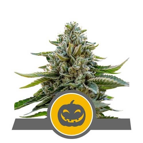 Pumpkin Kush Regular - Royal Queen Seeds - Seed Banks