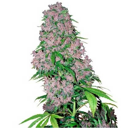 Purple Bud Fem - Sensi White Label - Seed Banks