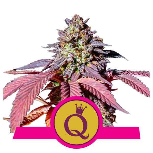 Purple Queen - Royal Queen Seeds - Seed Banks