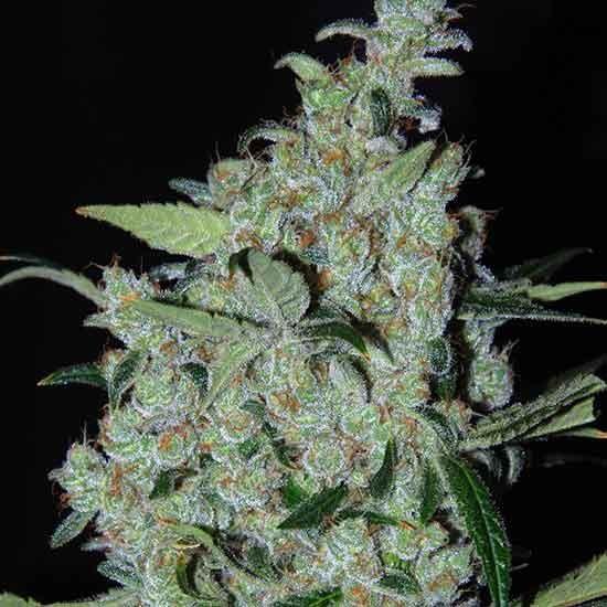 Purple Mexican  - Cannabiogen - Seed Banks