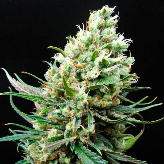 RIPPER HAZE - Ripper Seeds - Seed Banks