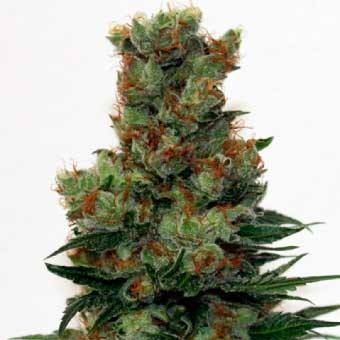 Ripper Badazz - Ripper Seeds - Seed Banks