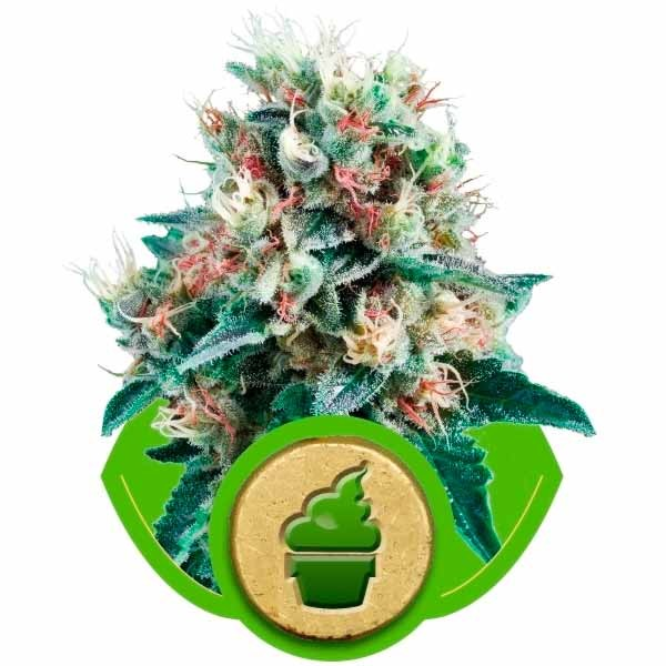 ROYAL CREAMATIC - Royal Queen Seeds - Seed Banks