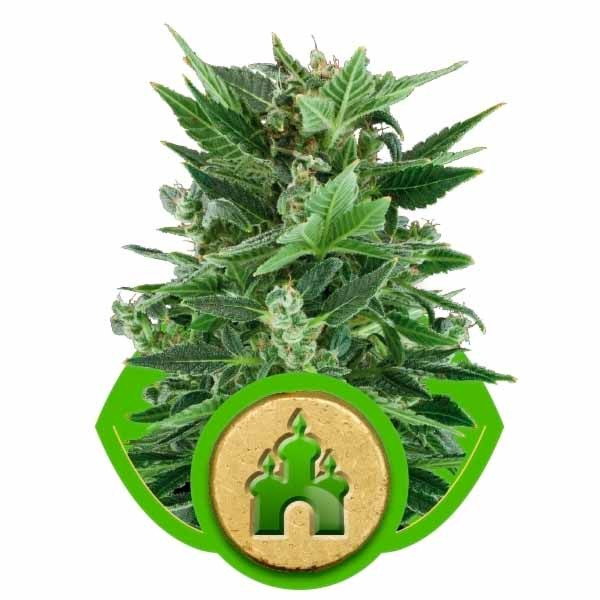ROYAL KUSH AUTOMATIC - Royal Queen Seeds - Seed Banks