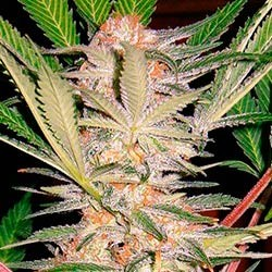 S.A.D. Sweet Afghan Delicious S1 - Sweet Seeds - Seed Banks