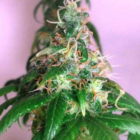 CHRYSTAL FEM 5 SEEDS - Nirvana - Seed Banks