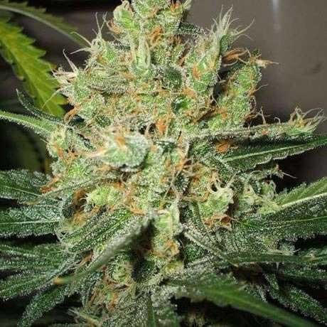 PURE POWER PLANT FEM 5 SEEDS - Nirvana - Seed Banks