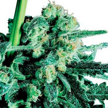 SENSI SKUNK REGULAR - Sensi Seeds - Seed Banks