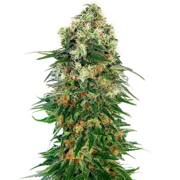 Shiva Skunk Automatic - Sensi Seeds - Seed Banks