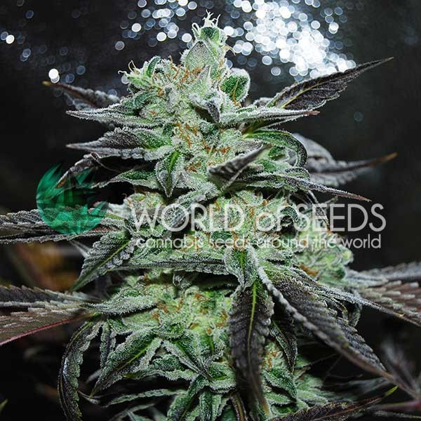 Strawberry Blue - World of Seeds - Seed Banks
