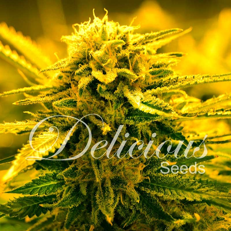 SUGAR BLACK ROSE AUTO - Delicious Seeds - Seed Banks