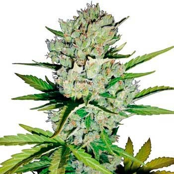 SUPER SKUNK AUTOMATIC - Sensi White Label - Seed Banks