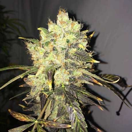 Supreme CBD Durban 5 Seeds - Nirvana - Seed Banks
