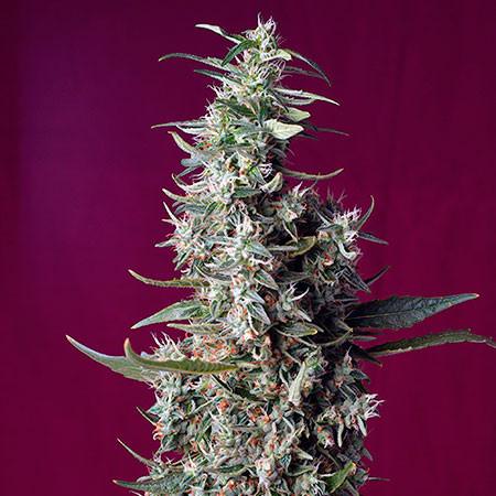Sweet Cherry Pie - Sweet Seeds - Seed Banks