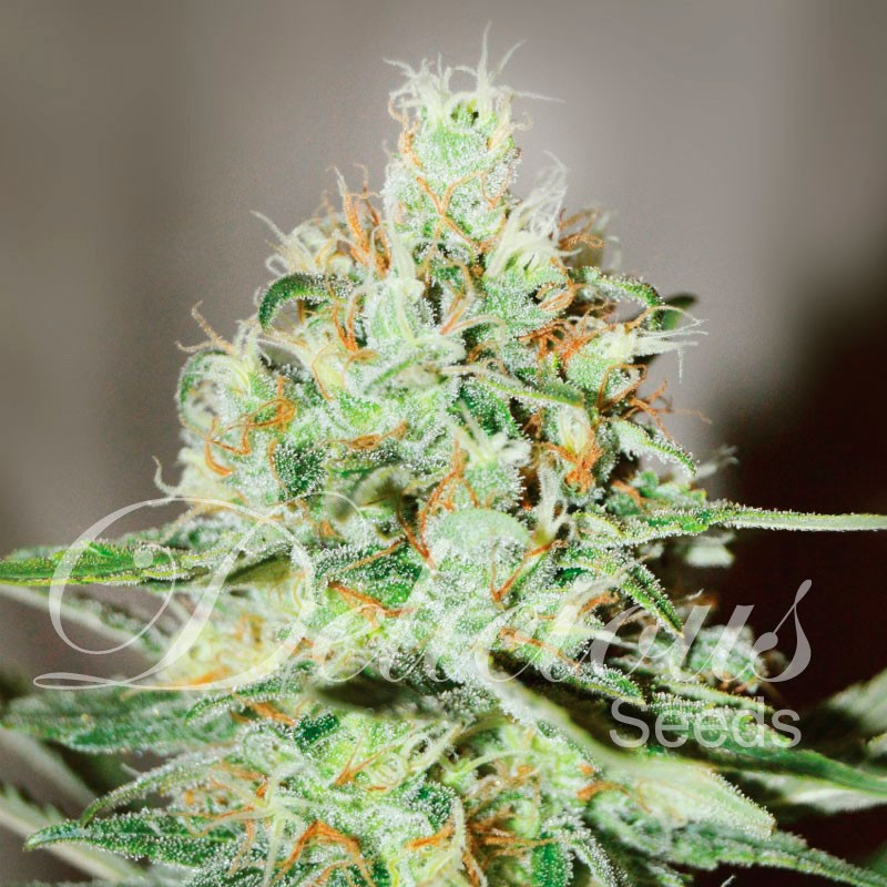Jägg Kush - Delicious Seeds - Seed Banks