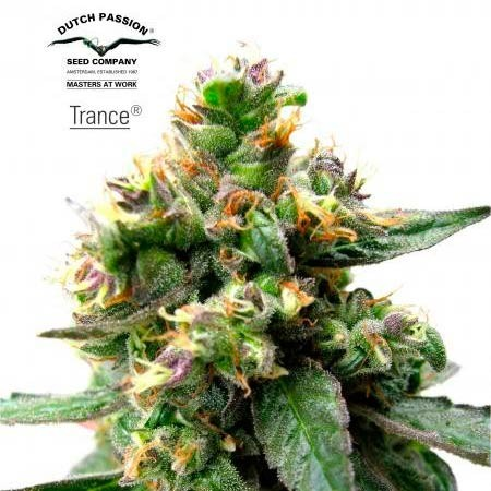 TRANCE - Dutch Passion - Seed Banks