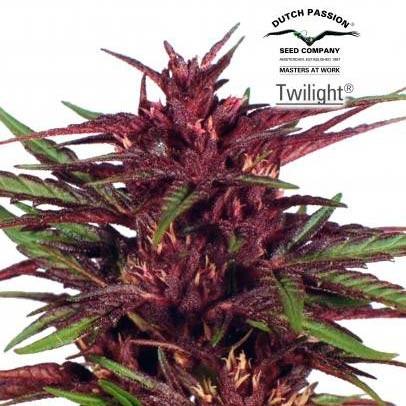 Twilight - Dutch Passion - Seed Banks