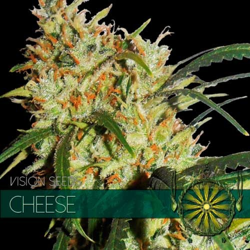 GOUDA'S GRASS (CHEESE) - Vision Seeds - Seed Banks
