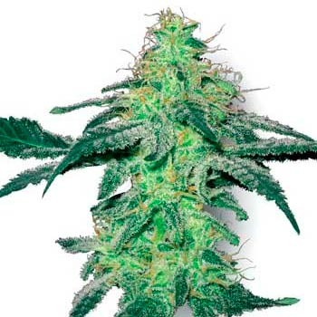 WHITE SKUNK FEM - Sensi White Label - Seed Banks