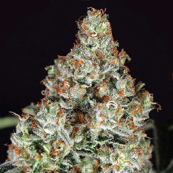 ZKITTALICIOUS - 10 seeds - Exotic Seed - Seed Banks