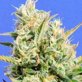 CBD LEMON AID - Samsara Seeds - Original Sensible