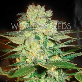 Afghan Kush x White Widow - Samsara Seeds - World of Seeds