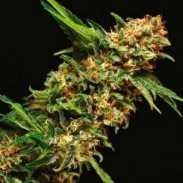 ALPUJARREÑA - Samsara Seeds - Pyramid Seeds