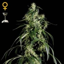 ARJAN´S HAZE #1 - Samsara Seeds - GreenHouse