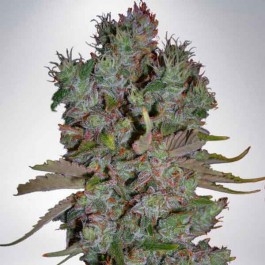 Auto Blueberry Domina - Samsara Seeds - Ministry of Cannabis
