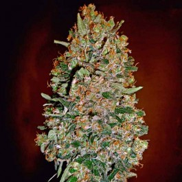 Auto Chocolate Skunk  - Samsara Seeds - 00 Seeds