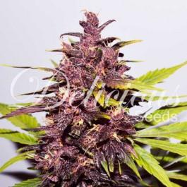AUTO DARK PURPLE - Samsara Seeds - Delicious Seeds