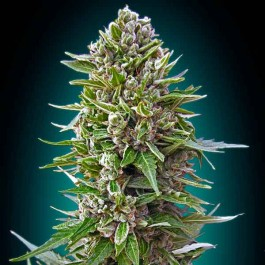Auto Northern Lights - Samsara Seeds - 00 Seeds