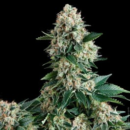 AUTO NEW YORK CITY - Samsara Seeds - Pyramid Seeds