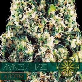 AMNESIA HAZE AUTO - Samsara Seeds - Vision Seeds