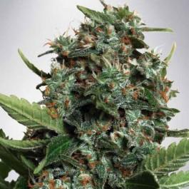 Autopilot XXL - Samsara Seeds - Ministry of Cannabis