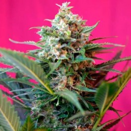 Big Devil XL Auto - Samsara Seeds - Sweet Seeds