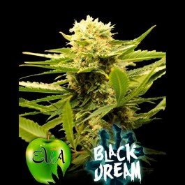 BLACK DREAM - Samsara Seeds - Eva Seeds