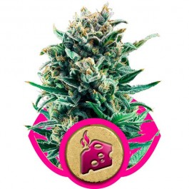 Blue Cheese - Samsara Seeds - Royal Queen Seeds