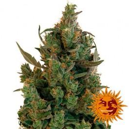 BLUEBERRY CHEESE - Samsara Seeds - Barney's Farm