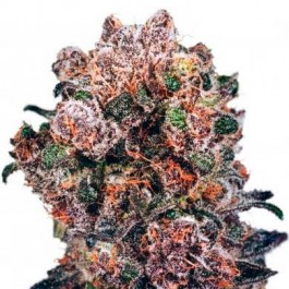 Blueberry Reg. - Samsara Seeds - Dutch Passion