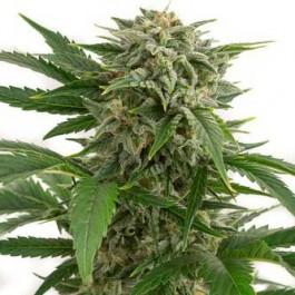BUBBA KUSH AUTO - Samsara Seeds - Dinafem