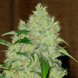 Bubble Gum - Samsara Seeds - Serious Seeds