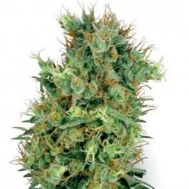 CALI ORANGE BUD REGULAR - Samsara Seeds - Sensi White Label