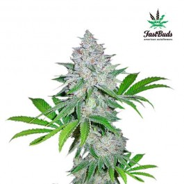 CALIFORNIAN SNOW - Samsara Seeds - FastBuds