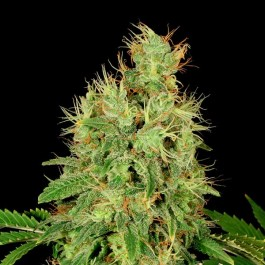 CBD-Chronic - Samsara Seeds - Serious Seeds