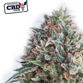 CBD Critical 47 - Samsara Seeds - Positronics