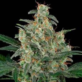 CHEESE AUTO - Samsara Seeds - Dinafem