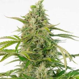 Cheese Autoflowering CBD - Samsara Seeds - Dinafem