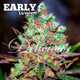 COTTON CANDY KUSH EARLY VERSION - Samsara Seeds - Delicious Seeds