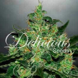Critical Jack Herer Auto - Samsara Seeds - Delicious Seeds